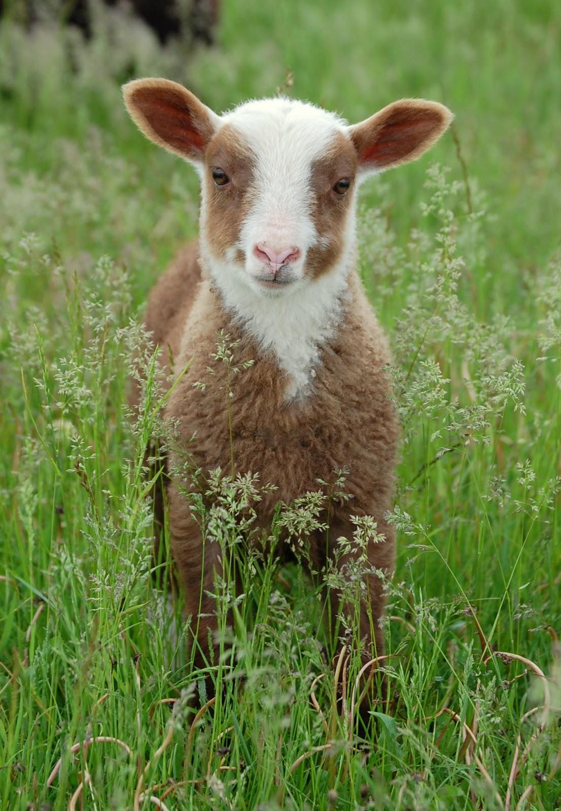 Crosswinds Farm | Shetland sheep, Heritage breeds, Animals