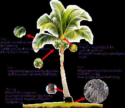 Tumbuhan Berakar Serabut