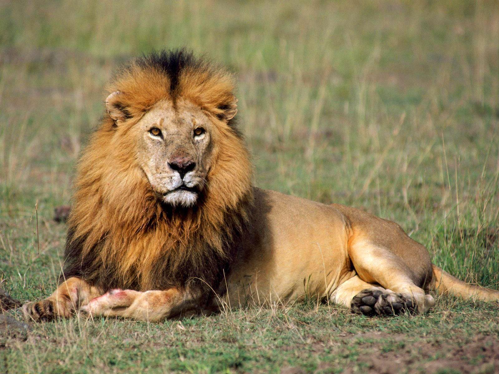 Lion Wallpaper Downloadpetite-soumiselylye