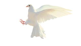 Colomba bianca che vola