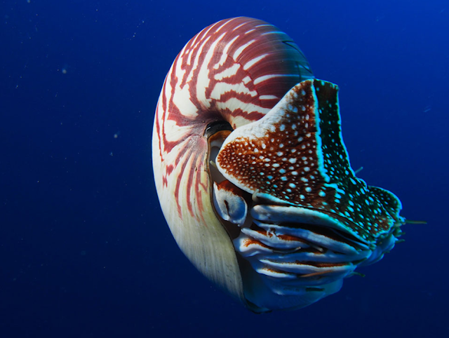 Research backs up ongoing efforts to protect the enigmatic Nautilus