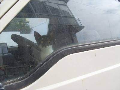 Γατα ασπρομαυρη μεσα σε φορτηγακι με σκονισμενο παρμπριζ που κοιταει περιεργα