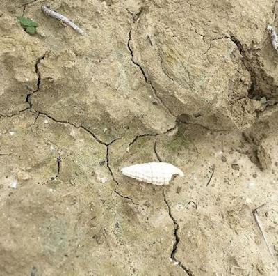 san miniato fossili conchiglie vigna