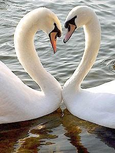 cisne_amor