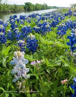 Bluebonnets Waterfall Pictures 100