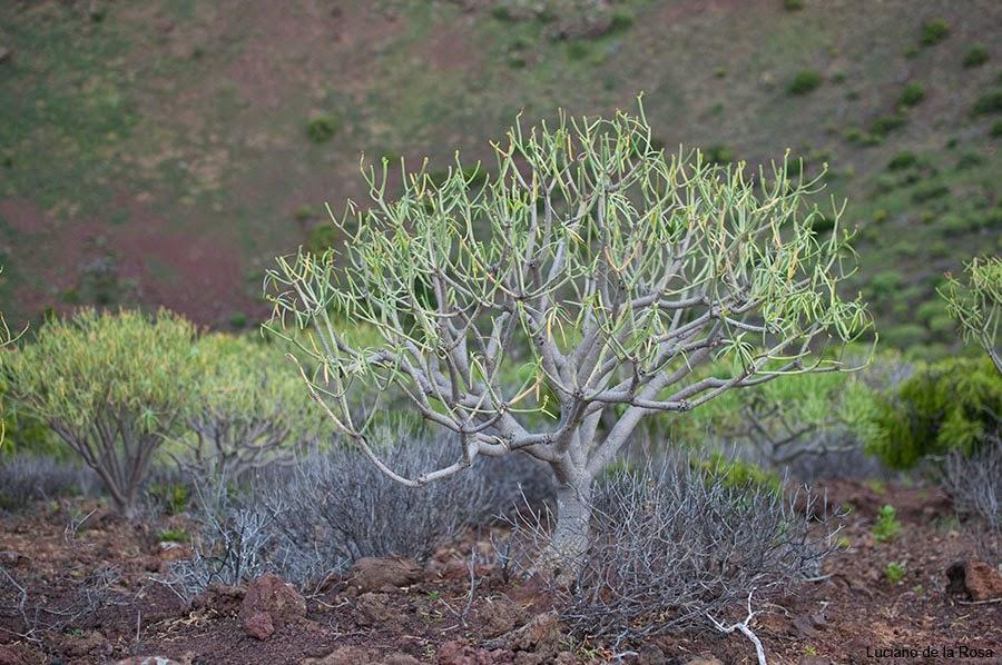 Malpaís de Güímar cuenta con uno los tabaibales más importantes de la isla de Tenerife.
