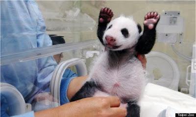 imagenes de osos pandas bebes