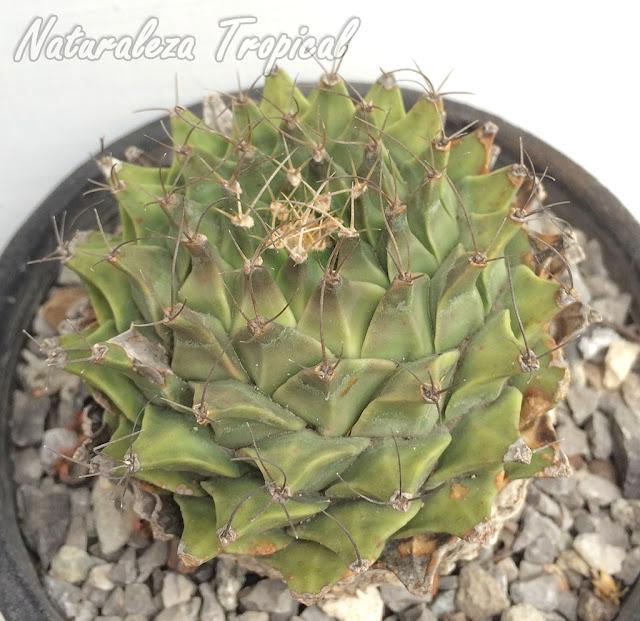 El popular cactus Obregonita, Obregonia denegrii