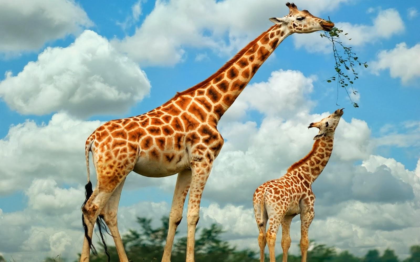 Giraffe Wallpapers ~ Free HD Desktop Wallpapers Download