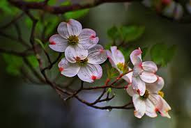Dogwood flowers are the State Flower of Virginia. photo care of flickr.com