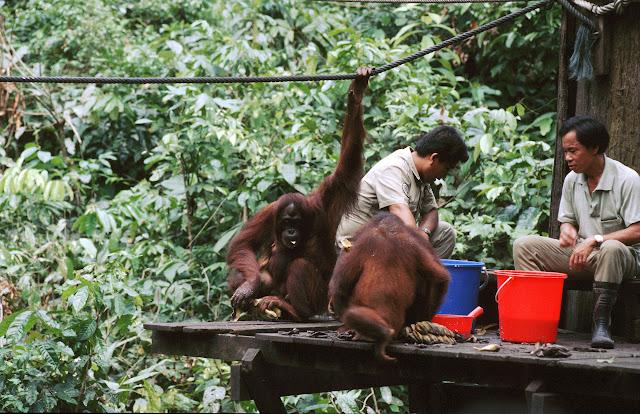 Orangutans durante il pasto del mattino
