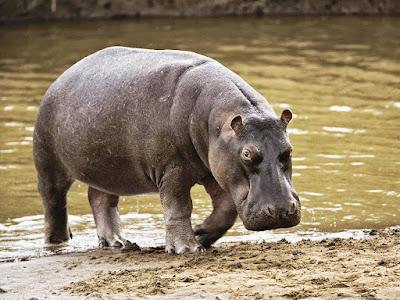 su aygırı, en tehlikeli hayvan, hipopotam saldırısı