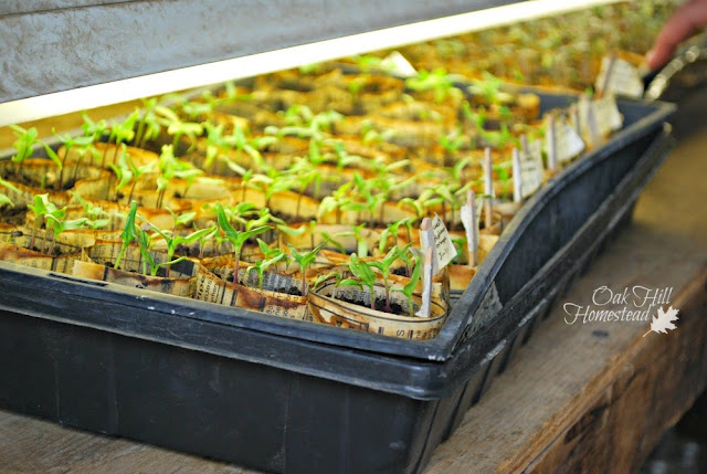 How to start seeds indoors - no need to buy transplants when it's time to plant your garden.