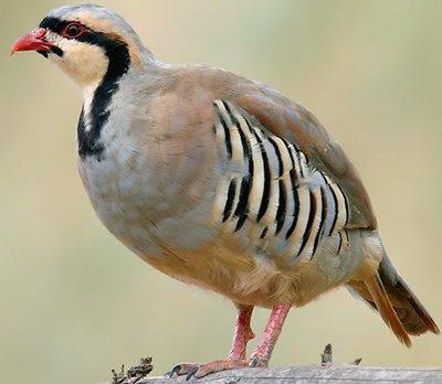 Chukar - National Bird of Pakistan