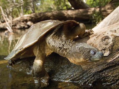 Fitzroy River Turtle Si Kura-Kura Yang Bernafas Menggunakan Pantat
