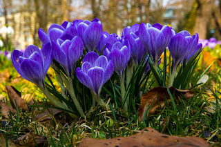 Image: Crocus Spring Flowers, by Hermann Traub  on Pixabay