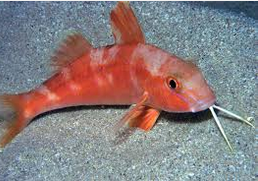 Ikan Hias Air Laut Goatfish