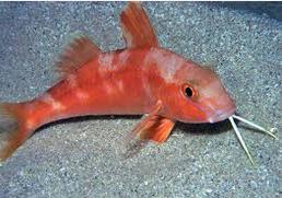 Ikan Hias Air Laut Goatfish