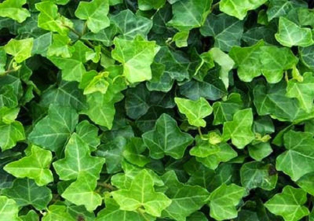 Het Paradijsje Van Jane: Plant #7: De Klimop (Hedera