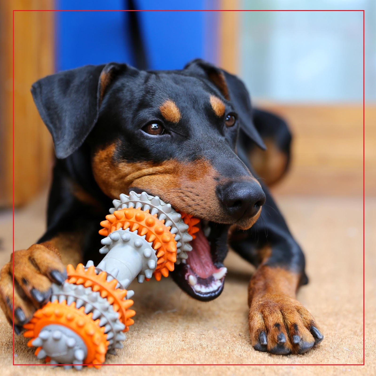 Il carattere il carattere for Pinscher carattere