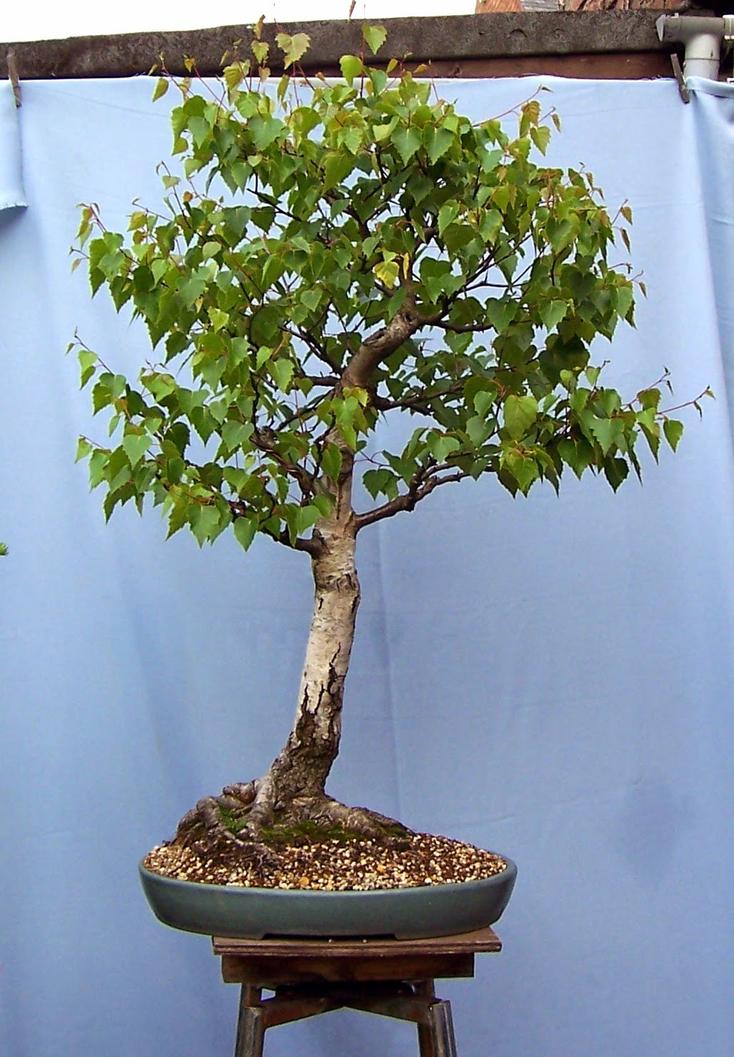 bonsai tree 19 amazing artificial bonsai tree uk pictures. Black Bedroom Furniture Sets. Home Design Ideas