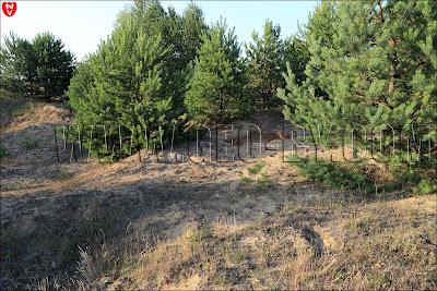 Молодой сосновый лес у в деревни Подъязовле