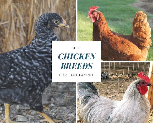 Best Chicken Breeds for Egg Laying