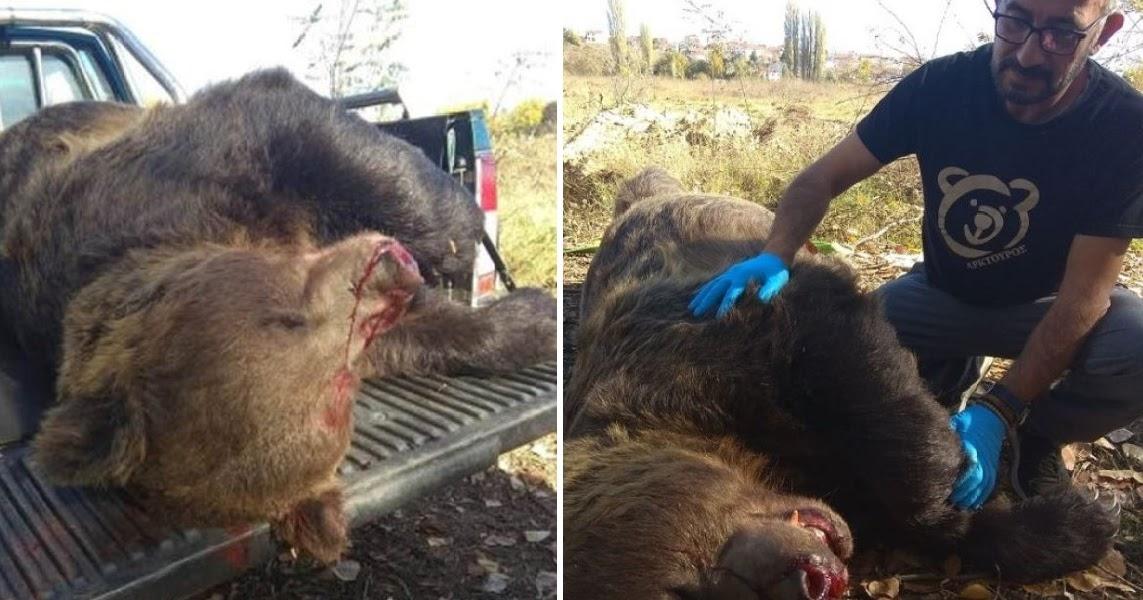 Καστοριά: Νεκρή η μεγαλύτερη αρκούδα 390 κιλών από τροχαίο