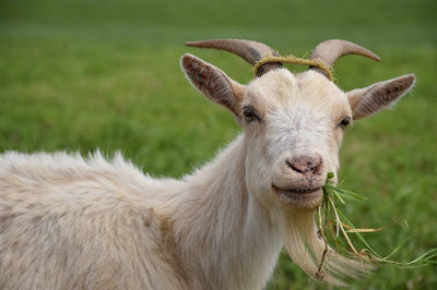 Supplementary Feeding Goats In Goat Business Opportunity