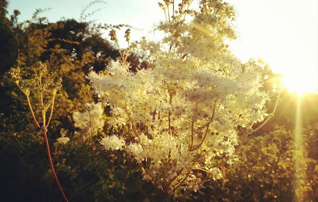 medowsweet, flowers, sunrise, Galway, Connemara