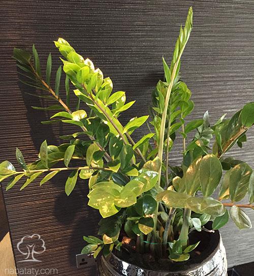 نبات زاميا