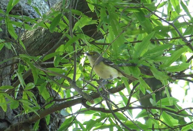 White-eyed Vireo - Dry Tortugas, Florida