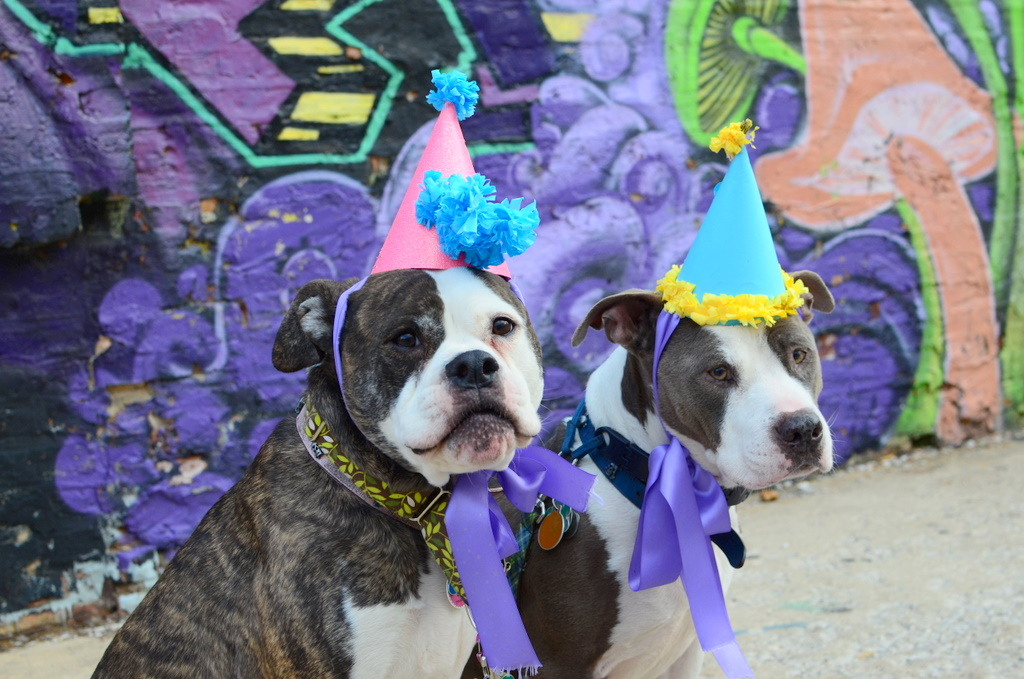 DoggyStyle Pitbulls In Party Hats Birthday Cards