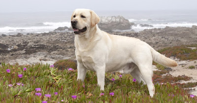 Instinto perro labrador