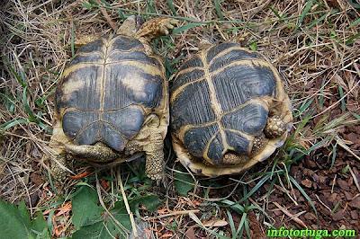 Diferencias entre un macho y hembra de tortuga rusa (Testudo horsfieldii)