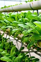 budidaya tanaman,pertanian,urban farming,lmga agro