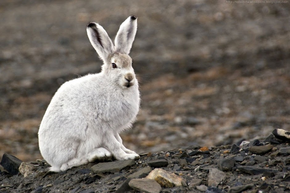 Beautiful Wallpapers For Desktop: Arctic hare HD Wallpapers