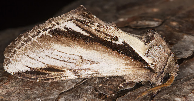 Lesser Swallow Prominent, Pheosia gnomaIn my garden light trap in Hayes on 31 August 2016.