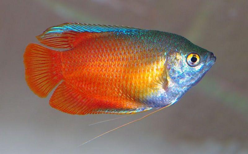 Jenis Ikan Sepat Hias-Ikan Sepat Dahlia