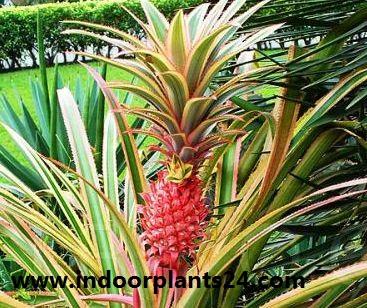 Pina roja/Red Pineapple/Ananas bracteatus  Zoom's Edible Plants image