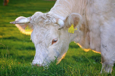 Grass Fed White Cow