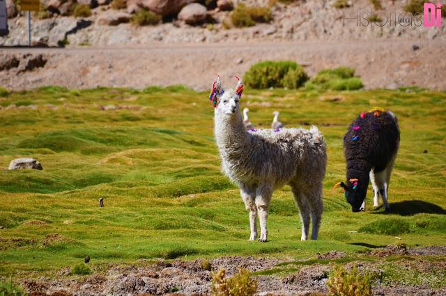 Linda criação de llamas no Povoado de Machuca