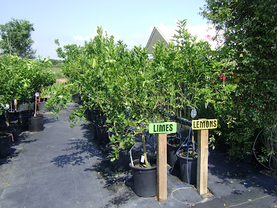 Rows of pot grown lemon trees