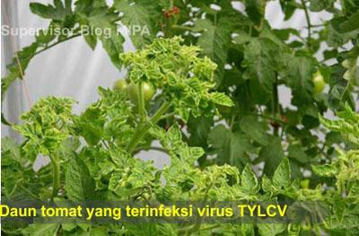 virus penyebab penyakit pada tumbuhan-Penyakit yellow disebabkan oleh Tomato yellow leaf curl virus (TYLCV) yang menyebabkan daun mengalami klorosis (yellowing) dan mengkerut/ keriting (curly) pada tumbuhan tomat