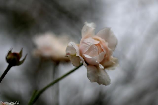 rose inconnue blanc crème rose