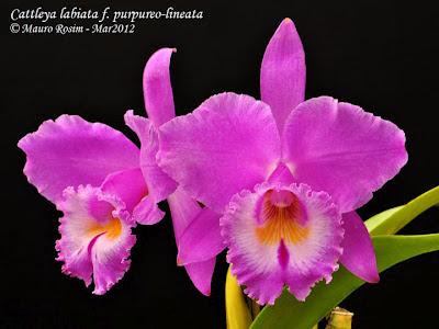 Orquídea Cattleya labiata f. purpureo-lineata