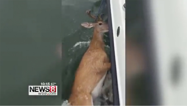Deer rescued after it was found swimming in Long Island Sound