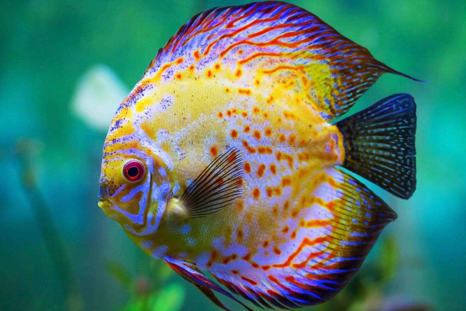 Wow Inilah 9 Jenis Ikan Hias Air Tawar Aquarium Yang Mudah Di