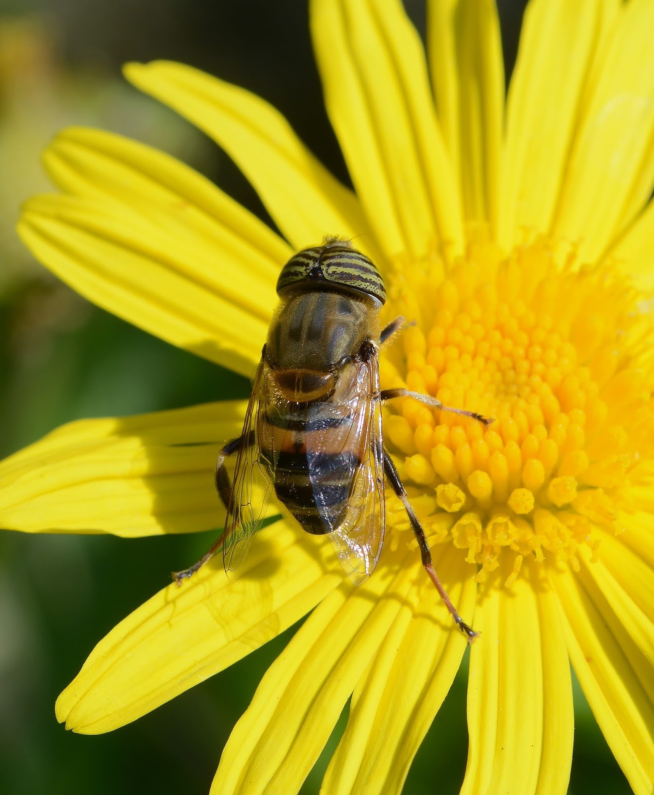 Insects: Eristalinus June