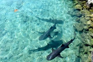 hiu pulau pramuka